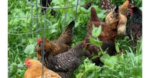 hens convey garden